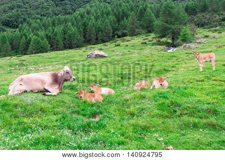 Cow With Little Lambs In A Mountain Pasture