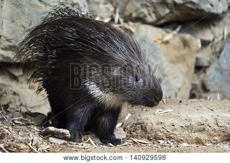 A shot of  a young porcupine (rodent)