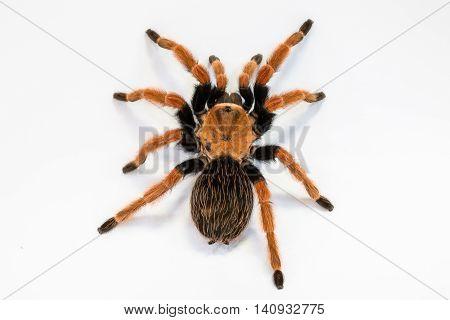 Mexican Fireleg or Rustleg Tarantula, isolated on white background