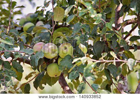 Apple fruit garden in summer sunny day