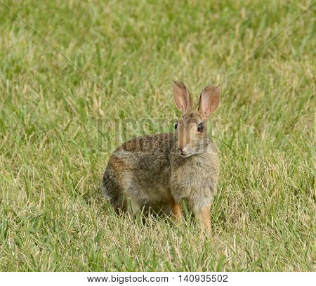 An Eastern Cottontail rabbit (Sylvilagus floridanus), on alert while in the open.
