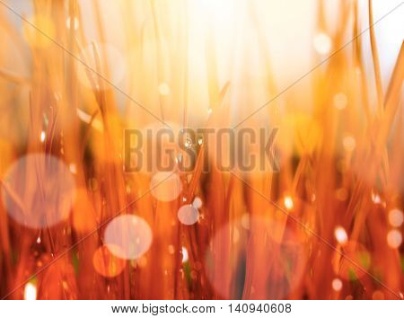 Abstract nature background. Autumn red grass with water drops. Soft focus.