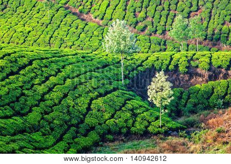 Tea plantations in the morning. Kerala, India