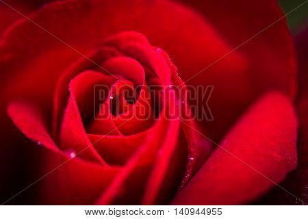 A close up natural macro shot of a wet ed rose