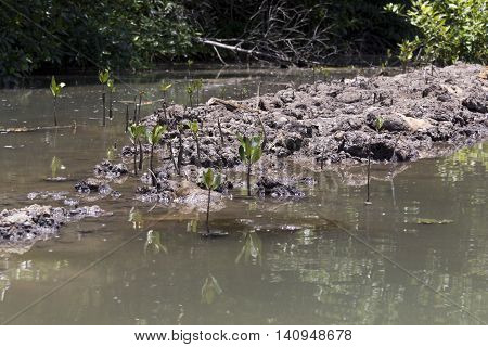 Small mangrove tree in water, South Vietnam