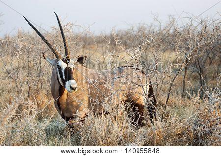 One Oryx (Gemsbock) standing in the bushes in Etosha National Park Namibia
