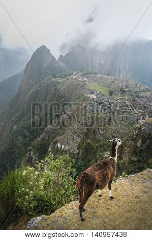 Llama on the cliff edge above an ancient inca town of Machu Picchu in Peru