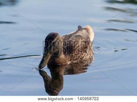 brown duck swimming on the water in a small park, summer, calm weather, it can be seen reflected in the water birds, sunny day,