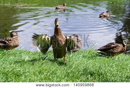 several ducks in the park in the summer of sleep and rest on the green grass on the lake, one bird flaps its wings
