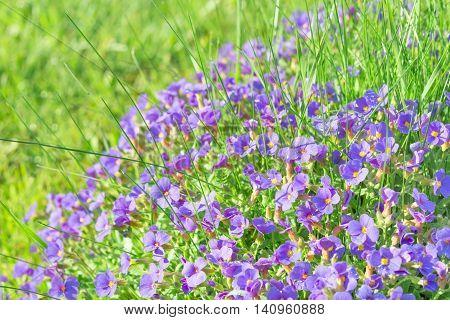 Tiny Blue Decorative Flowers Aubrieta In Sunshine Ornamental Garden