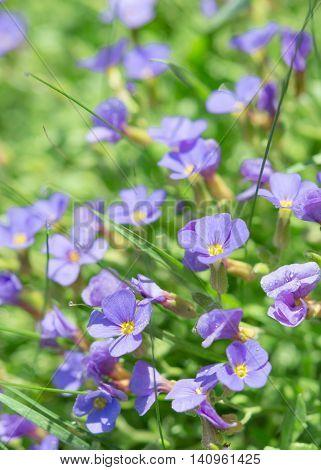 Summer Blue Flowers In Fresh Grass On Sunny Field