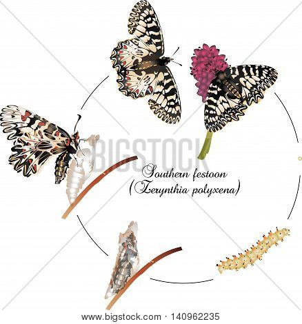 It is illustration of Life cycle of Southern festoon.