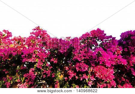 Blossoming pink bougainvillea in Mallorca garden isolated on white.