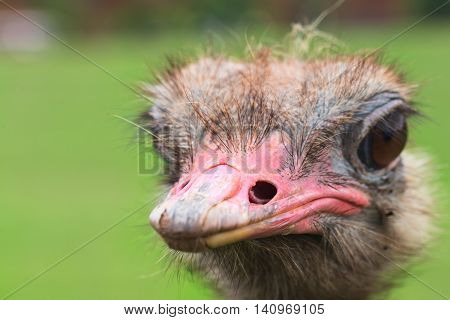 The head of an ostrich close up on a green background. Small depth of sharpness in a shot of eyes and a pink beak