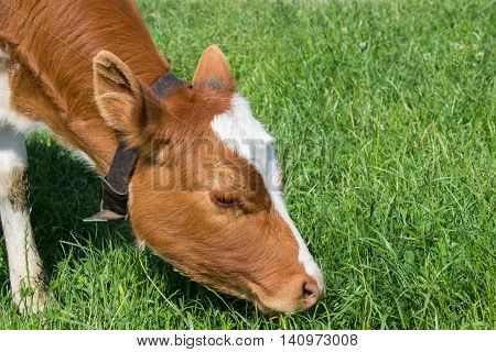 young red heifer grazing on a green field close-up