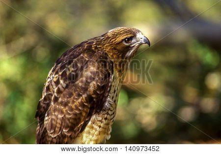 American Peregrine Falcon - Profile Looking Right