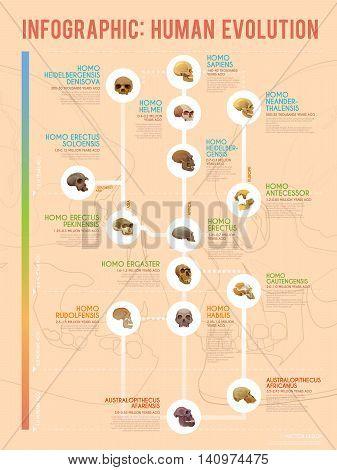 True human evolution vector web infographic. Human ancestors.