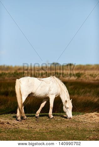 beautiful white horse graze free in the fields of Camargue