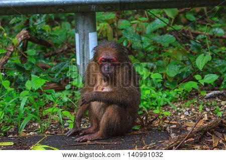 Stump-tailed Macaque (macaca Arctoides ) In Nature