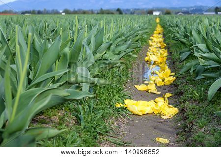 Field of yellow tulips with the flowers cut off, an intermediate stage in bulb farming