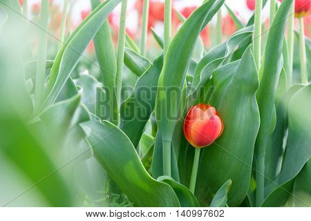 Small orange tulip tucked in among the leaves and stems of tulips in the field