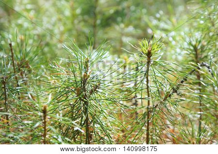 Young green pine needles. Background. Abstraction. Nature.