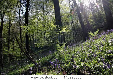 An English Wood during Bluebell Season in May