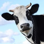 pic of dairy cattle  - Silly smiling cow on sky background - JPG