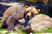 image of grizzly bears  - Grizzly bear sleeping on a rock on a nice sunny day - JPG