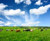 stock photo of dairy cattle  - Cows on green meadow - JPG