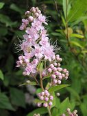 Blooming Japanese spirea (Spiraea japonica) the family Rosaceae poster