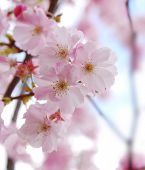 stock photo of cherry blossom  - sakura  - JPG