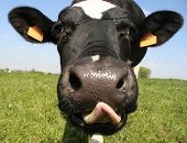 stock photo of funny animals  - a close up of a cow - JPG