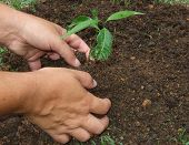 image of planting trees  - Planting a tree with the dirty hands - JPG