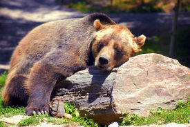 picture of grizzly bear  - Grizzly bear sleeping on a rock on a nice sunny day - JPG