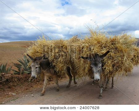 Domestic donkeys in Peru