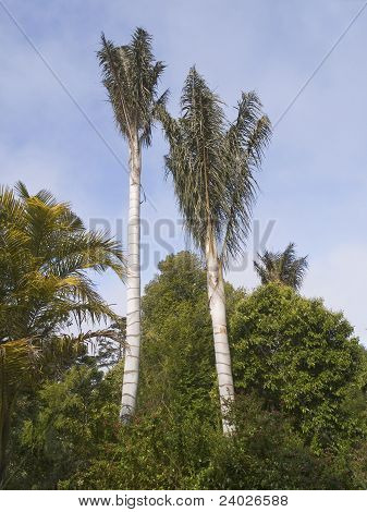 Two Tall Exotic Trees
