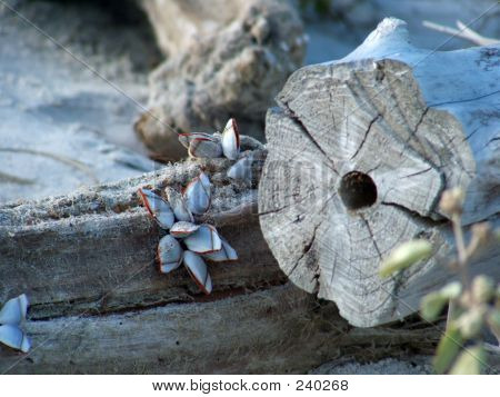 Barnacles On Driftwood