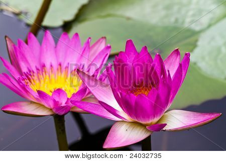 Lotus flower blooming at thailand