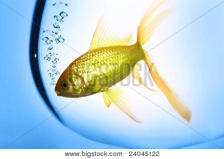 Goldfish in the auqarium