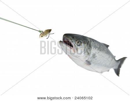 Chasing Bait Salmon