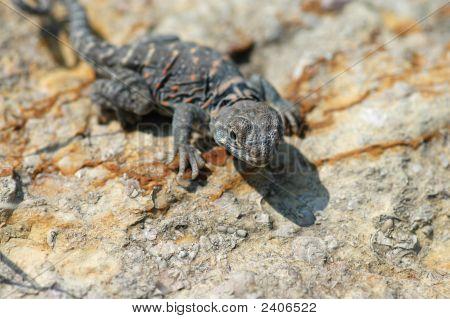 Juvenile Collard Lizard