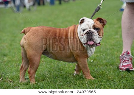 English Bulldog, Standing, Side View