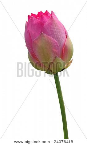 Pink lotus bud on white background
