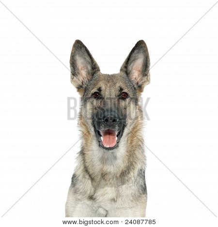 Portrait of a German Shepherd from the front