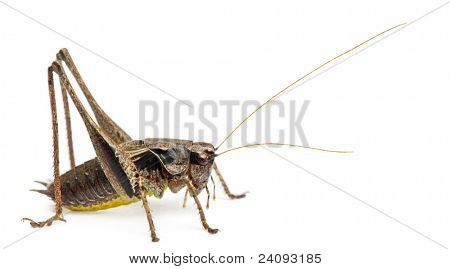 Male Shield-back Katydid, Platycleis tessellata, in front of white background
