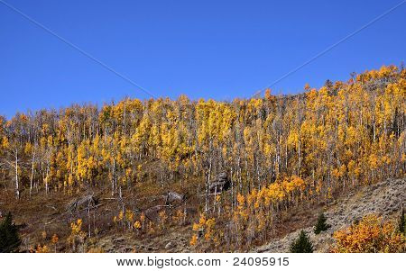 Panoramic view of Cottonwood trees