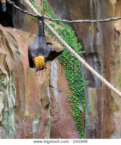 Giant Fruit Bat03stk