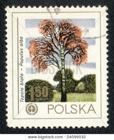 Silver Poplar