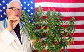 Marijuana Plant. Medical Doctor or Scientist. Marijuana Doctor examines a Female Marijuana Plants Fl poster